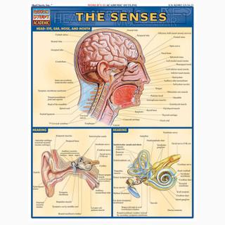 Barcharts The Senses